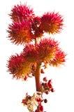 castor - oljeväxt Arkivbild