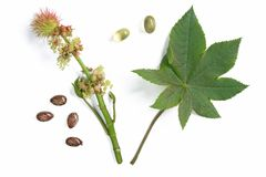 Castor plant - Ricinus communis. Flower and leaf of the castor plant, before a white background with castor oil capsules for oral use in cases of constipation Royalty Free Stock Photo