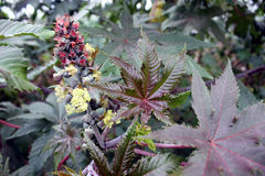 Castor plant. Ricinus communis, suffrutescent plant with large peltate 5-7 lobed leaves and unisexual flowers in terminal inflorescence Seeds source of castor royalty free stock photography