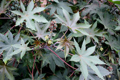 Castor plant. Ricinus communis, suffrutescent plant with large peltate 5-7 lobed leaves and unisexual flowers in terminal inflorescence Seeds source of castor royalty free stock images