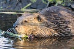 Castor que mastica en una rama en el salvaje Foto de archivo libre de regalías