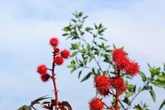 Castor Red, La Jolla Cove Stock Image