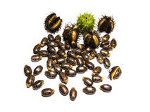 Castor seed Stock Photography