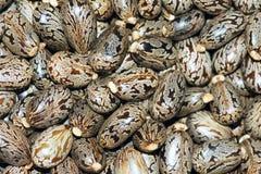 Castor seeds. The background of castor seeds. Scientific name: Ricinus communis stock images