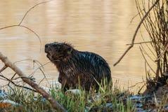 Castor sur la rivière Images libres de droits