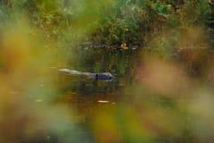 Castor sur le lac de forêt Photo stock