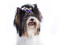 Castor Yorkshire Terrier Fotografía de archivo