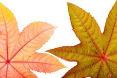 Castorbean leaf. Castor oil plant, Ricinus communis. Royalty Free Stock Photos