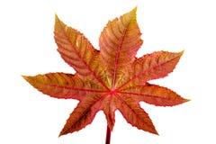 Castorbean leaf. Castor oil plant, Ricinus communis. Royalty Free Stock Photo