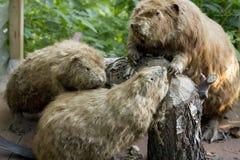 Castores en bosque verde Fotos de archivo libres de regalías