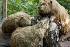 Castori in foresta verde fotografie stock libere da diritti
