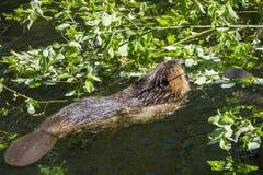 castoro che mangia foglia verde Fotografia Stock