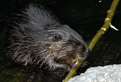 Castoro che mangia la filiale di albero in acqua fotografia stock libera da diritti