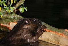 Castoro europeo con il cibo di notte della corteccia di legno Fotografia Stock Libera da Diritti