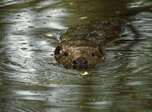 Castoro europeo con nuoto con il fiume Immagini Stock