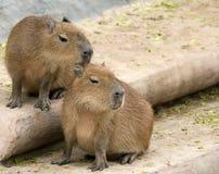 Castoro europeo o castoro del Eurasian (fibra della macchina per colata continua) Fotografia Stock Libera da Diritti