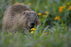 Castoro europeo selvaggio nel bello habitat della natura in repubblica Ceca Fotografie Stock