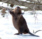 Castoro felice nell'inverno Fotografia Stock
