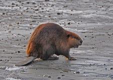 Castoro sulla spiaggia Fotografia Stock Libera da Diritti