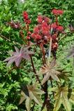 Castorzaad (communis Ricinus) Royalty-vrije Stock Foto's