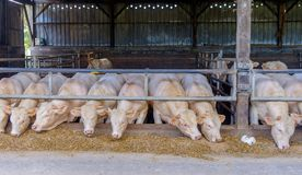 Mayenne Steers-3. Castrated young bulls steers in a stable feeding on hay and silage, Charolais cattle, Mayenne France stock images