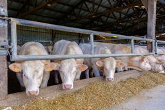 Mayenne Steers. Castrated young bulls steers in a stable feeding on hay and silage, Charolais cattle, Mayenne France royalty free stock photos