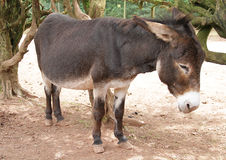 Casual Mule Donkey standing Stock Photo