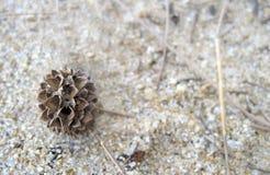 Casuarina equisetifolia. Dried Casuarina equisetifolia on the sand Royalty Free Stock Photo