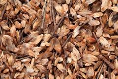 Casuarina Equisetifolia (AUSTRALIAN PINE) seed Royalty Free Stock Images