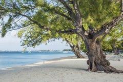 Casuarina Pine Trees on Seven Mile Beach Stock Image