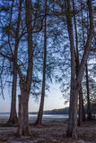 Casuarina tree. On the beach in the morning Royalty Free Stock Photography