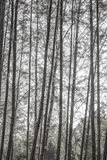 Casuarina tree black&white. Very hight casuarina tree in krabi thailand Royalty Free Stock Images