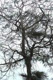 Casuarina tree Stock Images
