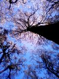 Casuarina Tree on Semeru Mountain. Looking Casuarina Tree on Semeru from the ground with frogeye view. Sun bright irradiate that tree and make amazing backlight Royalty Free Stock Image