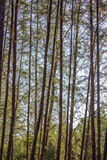 Casuarina tree. Very hight casuarina tree in krabi thailand Royalty Free Stock Image
