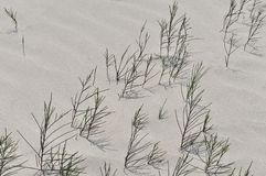 Casuarina on White Sand Beach Royalty Free Stock Photography