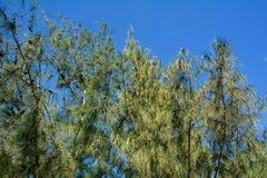 Casuarinabäume über blauem Himmel stockfotografie