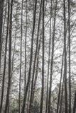 Casuarinaboom black&white Royalty-vrije Stock Afbeeldingen