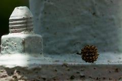 Casuarinaen kärnar ur på metall Royaltyfri Foto
