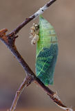 Casulo da borboleta do podalirius de Iphiclides Imagens de Stock Royalty Free
