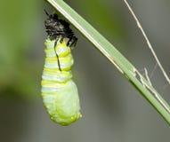 Casulo do monarca Imagens de Stock