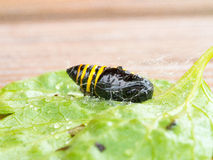 Casulo dos insetos Imagens de Stock Royalty Free
