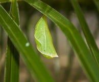 Casulo verde Fotografia de Stock
