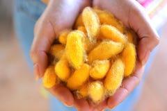 Casulos amarelos do bicho-da-seda nas mãos da mulher imagem de stock royalty free