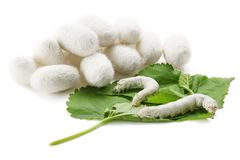 Casulos de seda com bicho-da-seda Fotografia de Stock Royalty Free