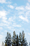 Casurina trees. Tops of casurina trees and sky Royalty Free Stock Photos