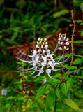 Cat� s Whiskers flower Royalty Free Stock Image