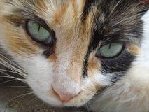 Cat's seductive eyes. Beautiful green eyes of homeless cat Stock Photos