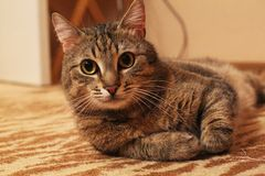 Cat Кот. Beautiful cat with big eyes on the carpet Royalty Free Stock Photography