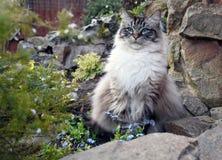 CAT РОДОСЛОВНОЙ RAGDOLL Стоковая Фотография